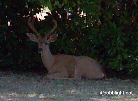 Photo of deer resting in shade