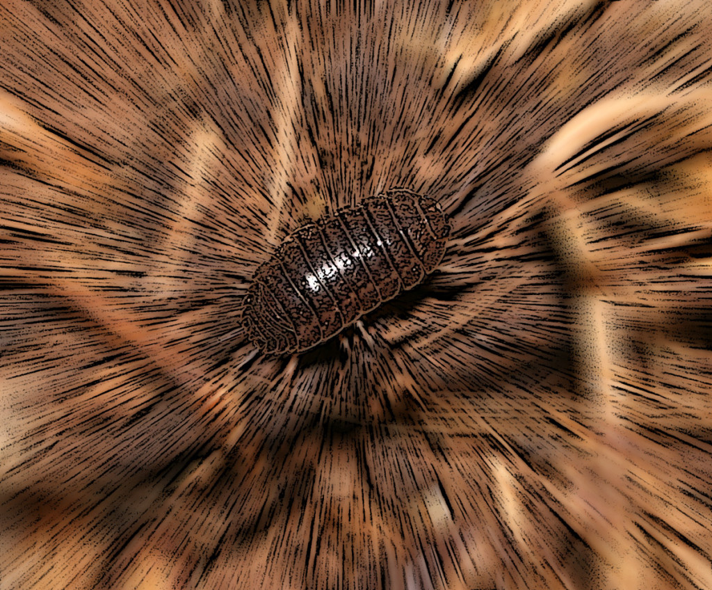 Photo - Pill bug